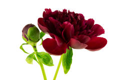 Red Peony Royalty Free Stock Photos