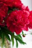 Red peony closeup on white Stock Photos