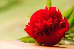 Red peony with drops of water Royalty Free Stock Photo