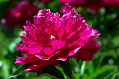 Red peony. Royalty Free Stock Image