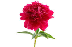 Red peony flower Stock Photo