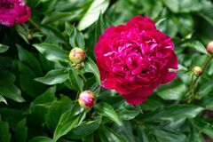 Red peony flower on a background of green leaves in the garden