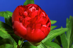 Red peony flower Royalty Free Stock Photo