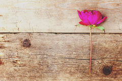Peony flower on a wooden table. Red peony flower on brown old wooden background and place for text Stock Images