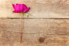 Peony flower on a wooden table. Red peony flower on brown old wooden background and place for text Royalty Free Stock Photo