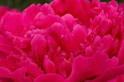 Red peony flower Stock Image