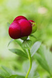 Red Peony flower Stock Photos