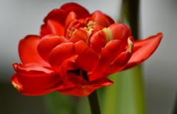 Red peony flower Stock Photography