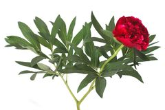 Red peony flower with green leaves isolated Royalty Free Stock Photos