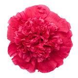 Red peony flower isolated with clipping path Stock Photo