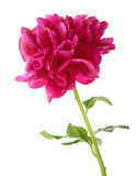Red peony flower isolated Stock Images