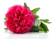Red peony flower Royalty Free Stock Photography