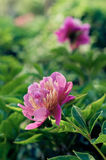Red peony flower. Many stalks of Pink peony lying on pink background Royalty Free Stock Image