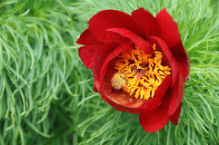 Red peony flower Stock Image