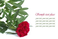 Red peony flower with text on white Stock Images