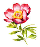 Red Peony flower watercolor  Royalty Free Stock Photography