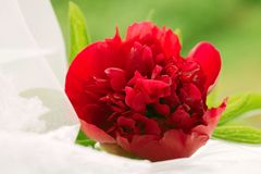 Red peony flower on a white wedding tulle. Fresh red peony flower on white wedding tulle Stock Images
