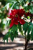 Red Peony. Peony, a flowering and Graceful and wealthy plant unique in China stock image