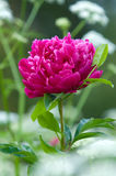 Red peony flowers Royalty Free Stock Photo