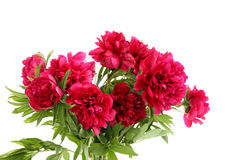 Red peony flowers Stock Photos