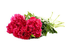 Red peony flowers Royalty Free Stock Photography
