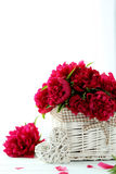 red peony flowers Stock Image