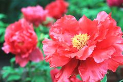 Red Peony flowers,closeup. Red Peony flowers,beautiful red peony flowers in full bloom in the garden in spring,closeup Royalty Free Stock Images