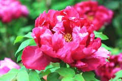 Red Peony flowers,closeup. Red Peony flowers,beautiful red peony flowers in full bloom in the garden in spring,closeup Royalty Free Stock Photos