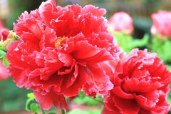 Red Peony flowers,closeup. Red Peony flowers,beautiful red peony flowers in full bloom in the garden in spring,closeup Stock Photos