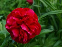 Red peony in the garden with drops of dew royalty free stock photography