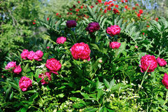 Red peony in garden Stock Photography