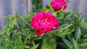 Red peony in garden stock footage