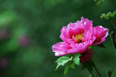 Red peony  with green  background. Single red peony with green background Royalty Free Stock Photography