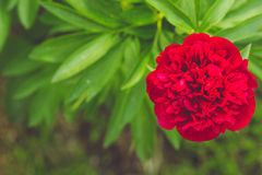 Red Peony on green background. Stock Image