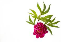 Red peony with green leaves stock photos