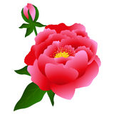 Red peony. Stock Photography