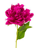 Red peony isolated Stock Image