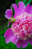 Red peony in the park. Red peony with insects in the park Stock Image