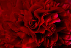 Red peony petals Stock Image