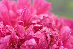 Red peony petals covered by rain drops against green background Royalty Free Stock Photography