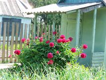 Red peony at the porch Stock Image