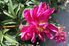 Red peony. Summer Royalty Free Stock Photos