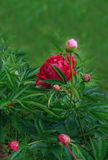 Red peony in the summer garden Stock Image