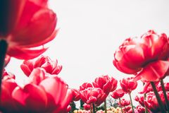 Red tulip flowers. stock photos