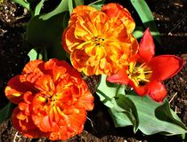 Red peony tulips and one simple red tulip. Close-up. stock photos