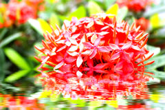 Red peony on the water Royalty Free Stock Images