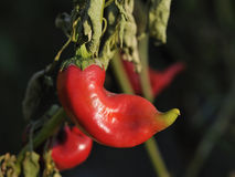 Red pepper. Curly red pepper on plant. The focus is on the curly end stock photos