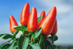 Red pepper and blue sky Royalty Free Stock Image