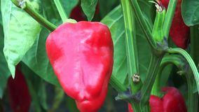 Red pepper on the branch stock video