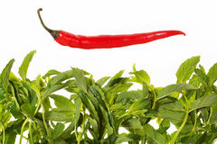 Red pepper and green leaves. On a white background Royalty Free Stock Image
